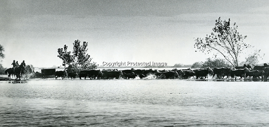 Ranchers herd their cattle thru flood waters in the San Francisco Delta near Islton,Ca. 1983 had heavy flooding on the Island when levies broke. <br />