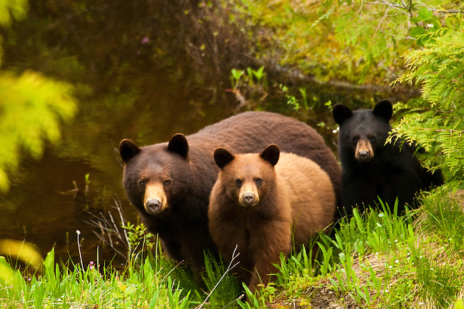 A black bear sow and her two cubs look up at the photographer in the Callahan Valley area of British Columbia, Canada, on June 24 2011. Photo by Gus Curtis.