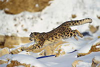 Snow leopard (Panthera uncia) or (Uncia uncia) running--uses long tail for balance.