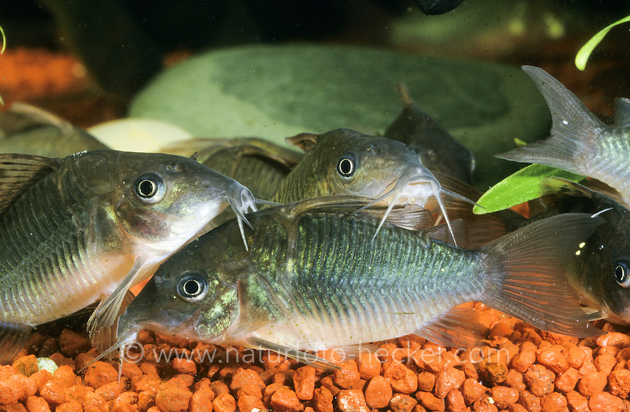 Smaragd-Panzerwels, Smaragdpanzerwels, Grüner Panzerwels, Corydoras splendens, Brochis splendens, Callichthys splendens, emerald catfish