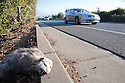A low angle view of a roadkill possum at roadside. A car driving in the background. Cupertino, California, USA