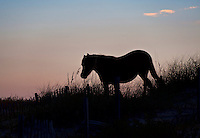 Wild Spanish mustang on dune, Outer Banks, North Carolina, USA