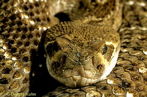 1R15-023a  Western Diamondback Rattlesnake - close-up of head showing heat sensing pits - Crotalus atrox