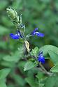 Salvia chamaedryoides, mid June.