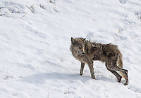 A mangy wolf belonging to the Lamar Canyon Pack endures the winter cold.