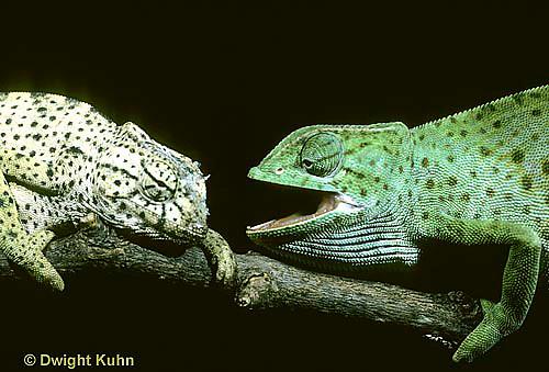 CH21-033z  African Chameleon - dominant green biting at recessive pale, territorial confrontation  - Chameleo senegalensis