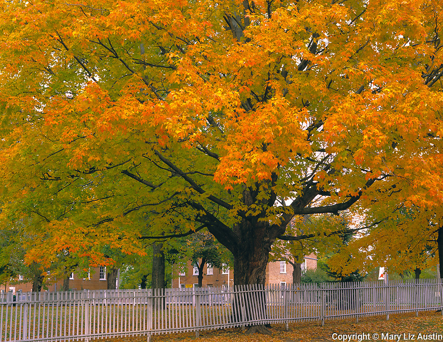 Henry County, IL<br /> Fall colored maple tree with picket fence in town square of Bishop Hill, Bishop Hill State Historic Site