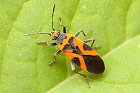 False Milkweed Bug (Lygaeus turcicus), Bald Eagle State Park, Howard, Centre County, Pennsylvania