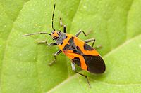False Milkweed Bug (Lygaeus turcicus), Bald Eagle State Park, Howard, Centre County, Pennsylvania