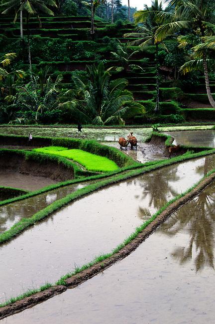 INDONESIA, BALI, TERRACED RICE FIELDS AT GUNUNG KAWI, FARMER PLOWING