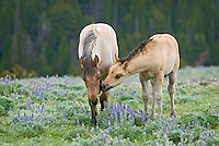 Wild Horse or feral horse (Equus ferus caballus) colt checking out a young mare--possibly a year older sister.  Western U.S., summer.