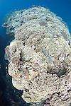 Bligh Waters, Rakiraki, Viti Levu, Fiji; a large expanse of hard coral reef growing on a ledge near a sheer wall dropoff