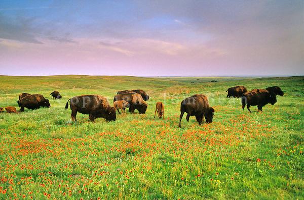 Bison herd and prairie wildflowers at Big Basin Prairie Preserve, near Ashland, Kansas, AGPix_0302.