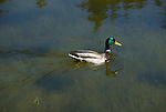 Mallard duck, Anas platyrhynchos, male, drake, at Cub Lake, Rocky Mountain National Park, Colorado, USA, spring, morning,.