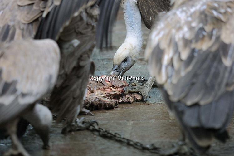 Foto: VidiPhoto..AMERSFOORT - Vale gieren vechten in Dierenpark Amersfoort om hun lunch. Zo af en toe laat een wilde vale gier in Nederland zijn neus zien. Omdat het echter ontbreekt aan dit soort kadavers in de natuur (in verband met allerlei wettelijke regelingen), heeft het dier vooralsnog geen toekomst in ons land.