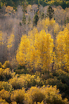 Golden aspen trees in autumn glow in the late afternoon sun near Conway Summit, Mono Co., Calif.