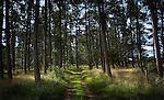 A track through a pine forest