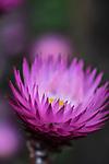 Flower at Mt Tomah Botanical Gardens, Blue Mountains, Sydney, NSW, Australia
