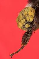 Erdhummel, Hummel, Hinterbein mit Pollenhöschen, Pollenpaket, Pollen, Sammelbein zum Sammeln von Pollen mit Körbchen, Blütenstaub wird in so genannten Körbchen gesammelt, das ist eine Vertiefung an der Außenseite der Tibia mit langen Haaren an den Rändern, Arbeiterin, Bombus terrestris oder Bombus lucorum