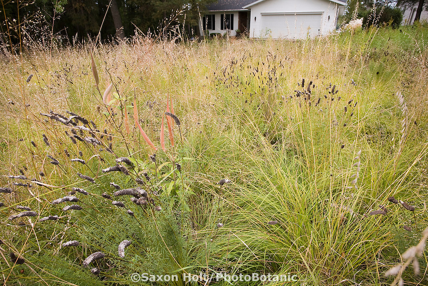 Naturalistic lawn substitute in Wisconsin front yard meadow garden in autumn with prairie grasses, Sporobolus heterolepis (Prairie Dropseed) yellowish fall color, Dalea purpurea (Purple Prairie Clover) seedheads; design by Neil Diboll