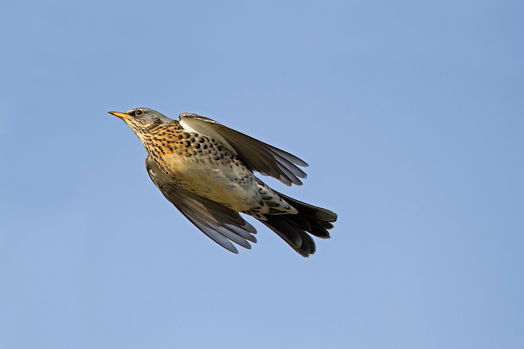 Fieldfare - Turdus pilaris L 24-26cm. A large and plump thrush. Associates with Redwing in winter flocks. Sexes are similar. Adult has blue-grey head, chestnut back and pale supercilium. Breast and flanks are flushed orange-yellow and heavily spotted; underparts are otherwise whitish. In flight, note pale grey rump and white underwings. Juvenile is similar but note pale spots on wing coverts. Voice Utters a harsh chack-chack-chack call; night-migrating flocks sometimes be detected by these calls. Song (seldom heard here) comprises short bursts of fluty phrases. Status Common winter to farmland and open country. A few pairs breed each year, mainly in N.