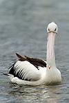 Australian Pelican (Pelecanus conspicillatus) sub-adult on water, Batemans Bay, New South Wales, Australia