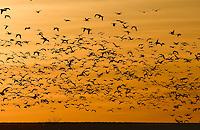 Snow Goose - Chen caerulescens - Flock in Flight
