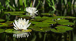 Reflection of white water lily in the ponds at Royal Botanical Gardens in Sydney, NSW, Australia