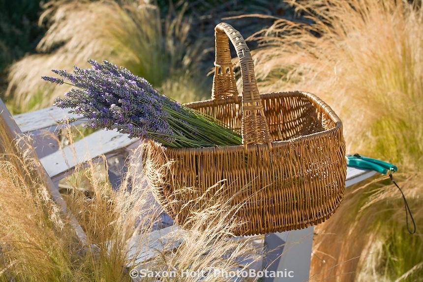 basket of harvested lavender in basket on garden chair