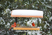 00585-03420 Northern Cardinals males,  & American Goldfinches on tray feeder in winter, Marion Co. IL