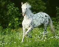 Friesian - Appaloosa cross mare trots through field of wildflowers