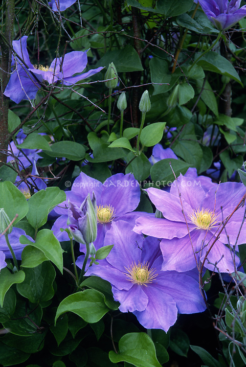 Clematis 'Fujimusume' aka 'Girl under Wisteria Bloom' , Japanese climbing vine cultivar,AGM, wisteria blue-lavender with yellow stamens
