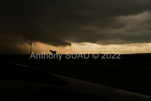 Konstantinopil, Ukraine.July 26, 2005 ..A cow cries out before an intense rain fall......