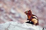 Golden Mantled Ground Squirrel on rocks in Glacier National Park Montana USA