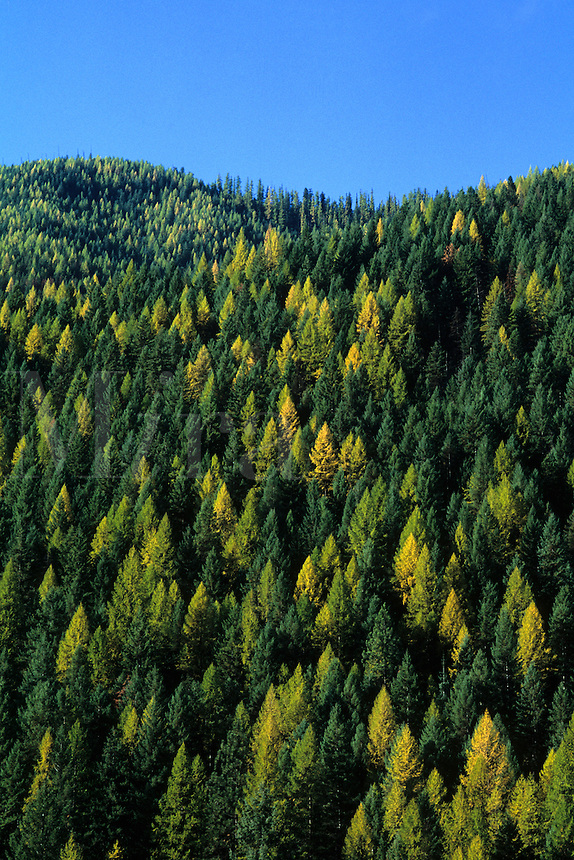 Forestry mountain with trees of different colors in Idaho US