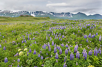 Meadow of lupine wildflowers in Katmai National Park, Alaska Peninsula, southwest Alaska. Aleutian mountain range in the distance.