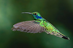 Green Violetear Hummingbirds