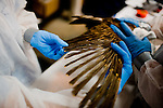 International Bird Rescue workers examine a heavily oiled baby pelican at Ft. Jackson, Louisiana.   Oil makes it difficult for birds to repel water, creating secondary issues related to thermoregulation...Jenn Bruno, DVM, Jeanie Beaston, Paraprofessional, Jocelyn Selin, DVM Student, and Erica Miller, DVM...Employees and volunteers from International Bird Rescue and Tri-State Bird Rescue and Research, Inc. work to triage incoming birds impacted by the Deepwater Horizon Oil Spill.  To date, the treatment facility has seen more than 800 birds brought in by wildlife workers for oil-related injuries and illnesses.  When a bird is covered in oil, it's ability to repel water is severely impacted, leaving many birds without the ability to thermoregulate, forage for food, or properly hydrate.  Incoming birds must first be stabilized, warmed, fed, and hydrated before they are candidates for cleaning.  Once cleaned of oil, the birds are monitored.  Once they are clean and stable, the birds are evaluated for re-release...Deepwater Horizon Oil Spill.  The spill is estimated to be gushing 35,000 to 60,000 barells of oil into the ocean per day.  Difficulties installing monitoring devices at the source have made this number difficult to clearly ascertain.  The spill is among the world's worst.