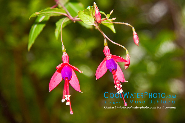 "fuchsia flowers, Fuchsia magellanica, kulapepeiao in Hawaiian, so called ""Pele's Earrings"", Hawaii Volcanoes National Park, Kilauea, Big Island, Hawaii, USA"