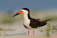 Adult Black Skimmer (Rynchops niger). Harrison County, Mississippi. July.