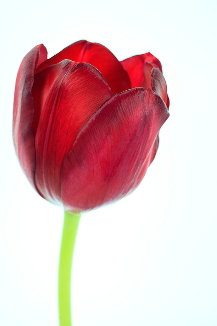 Close up of a red tulip on a white background