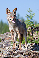 Coyote standing on a rocky outcrop - CA