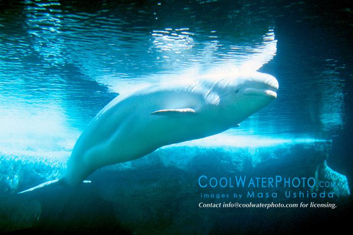 belugas or white whales (c), .Delphinapterus leucas, .discontinuous circumpolar..