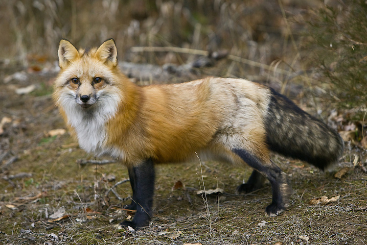 Red Fox standing amongst some fall foliage - CA