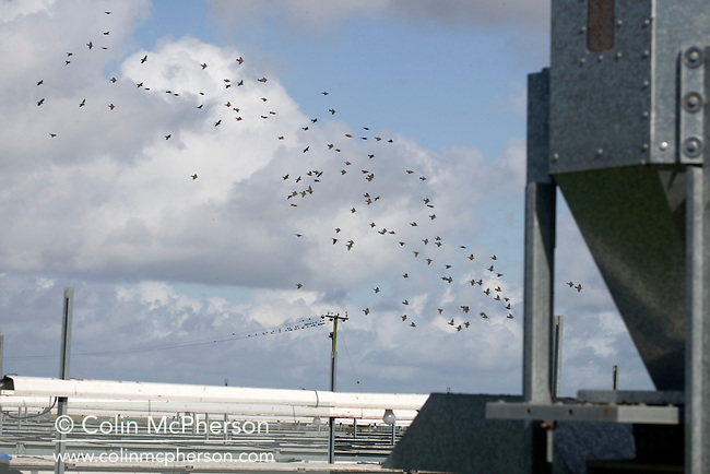 A flock of starlings flying above Hy-Fly Hatcheries, a company based in Preesall, near Blackpool, Lancashire which specialises in breeding partridge and pheasant to be sold to sporting estates. The partridges are kept in small cages for up to three years while they mature before being sold. Pheasants are also kept in cages but are transferred to outdoor pens as they mature. The company, which is run by Ray Holden, produces around three million day-old chicks per year, but is vulnerable to diseases spread by starlings.