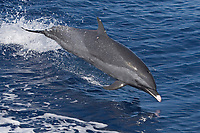 pantropical spotted dolphin, Stenella attenuata, jumping, Kona Coast, Big Island, Hawaii, USA, Pacific Ocean