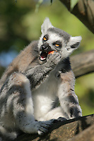 Germany, DEU, Muenster, 2004-Sep-08: A ring-tailed lemur (lemur catta) eating a fruit in the Muenster zoo.