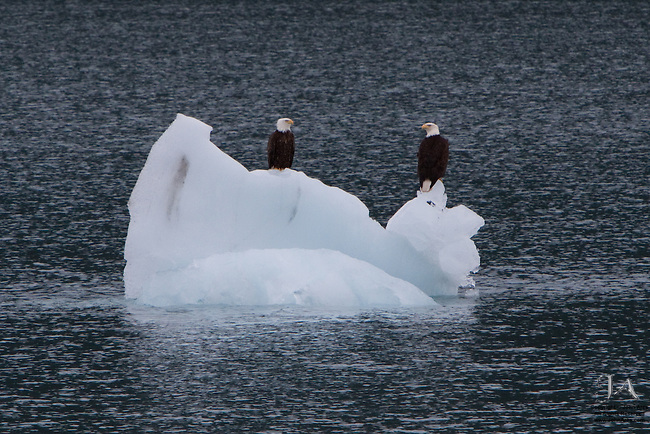 Two bald eagles sitting a a small iceberg in Prince William Sound, Alaska