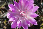The Bitterroot flower in Montana's State Flower. It grows in open rocky soil
