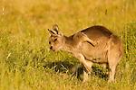 Eastern Grey Kangaroo (Macropus giganteus) juvenile scratching itself, Mount Taylor Nature Reserve, Canberra, Australian Capital Territory, Australia